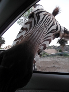 Curious zebra at AFRICAM