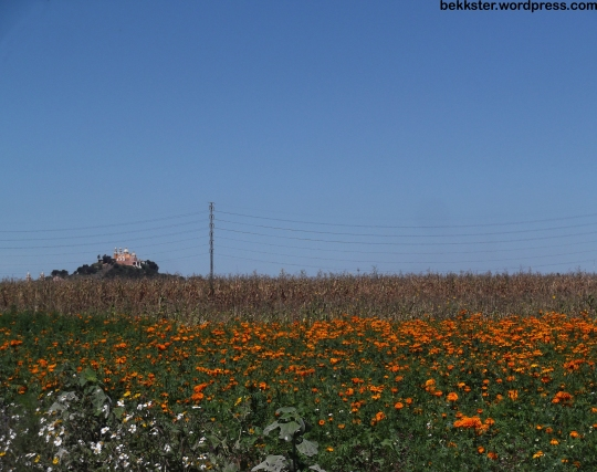 A field of cempasúchil, and Cholula's pyramid and church in the background.