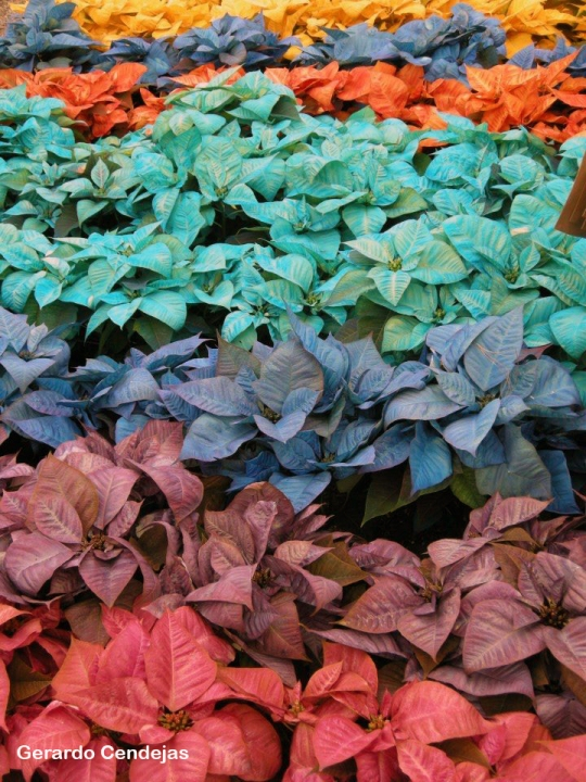 Dyed poinsettas for sale in Atlixco.