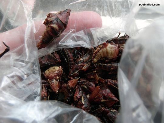 Fried grasshoppers (chapulines). They're delicious on their own or in quesadillas.