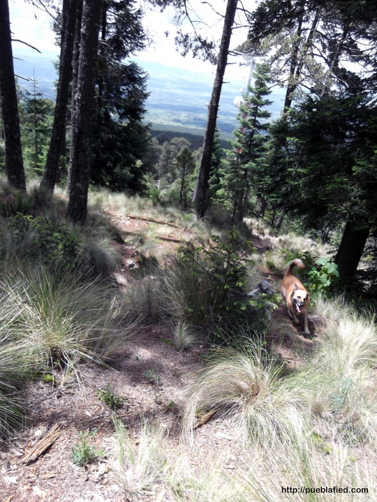 Dog #1 exploring La Malinche. We didn't go any higher than this.