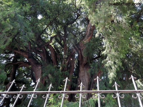 El Arbol de Tule, one of the biggest trees in the world.