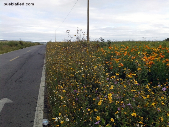 Since it's almost Day of the Dead, many fields were planted with marigolds (cempasuchil).